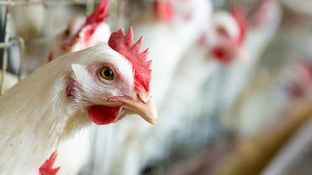 chickentax2